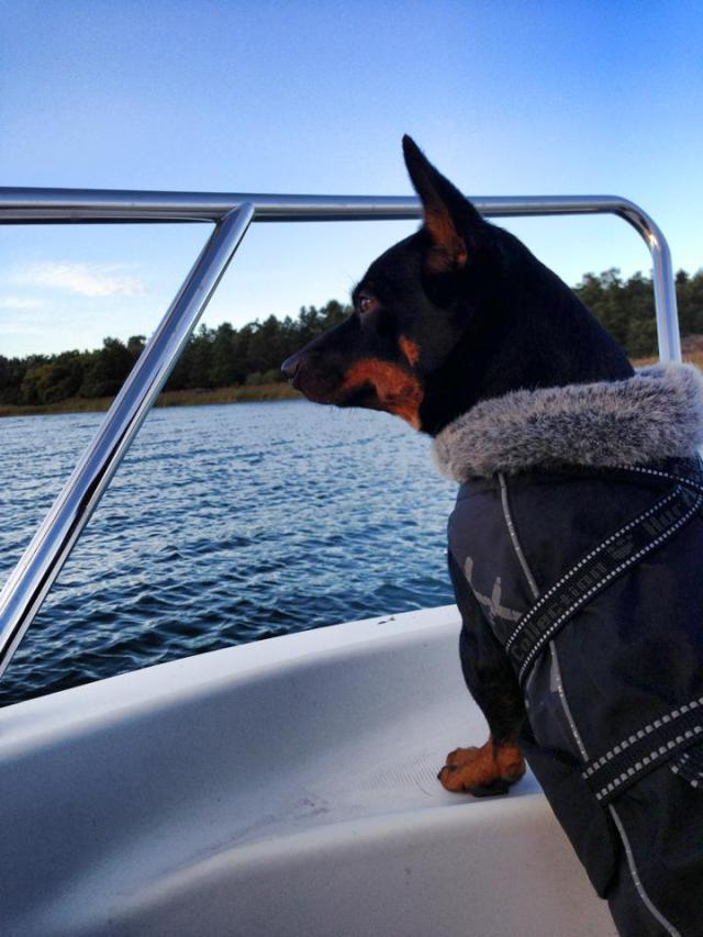 Det var Ronjas första båttur och hon skötte det imponerande! Inget pip eller gnäll alls men hade nog lätt kastat sig i vattnet efter fiskarna och sjögränset som vi drog upp om vi inte hindrat henne!