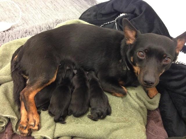 Här är valparna nyfödda, 4 blev vi!